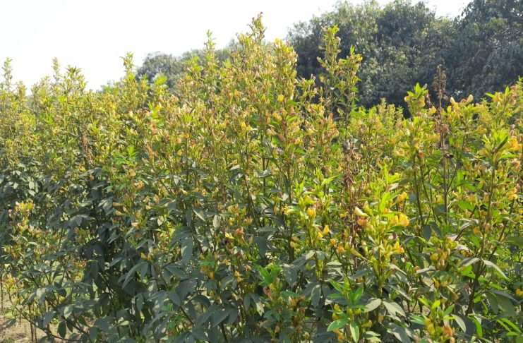 Selection of good species and improved cultivation can increase the yield of tur